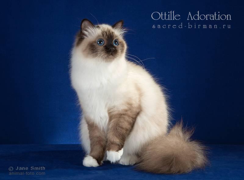 Священная бирма кошка: подробное описание, фото, купить, видео, цена, содержание дома