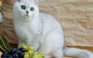 Сколько длится беременность у кошек британской породы: этапы, точные цифры и дни. беременность британской кошки по неделям