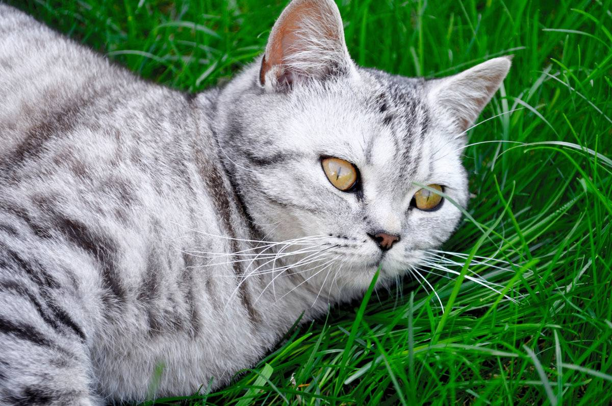 Кошка британская вислоухая: особенности породы, описание характера и поведения британцев, фото, выбор котенка, отзывы владельцев