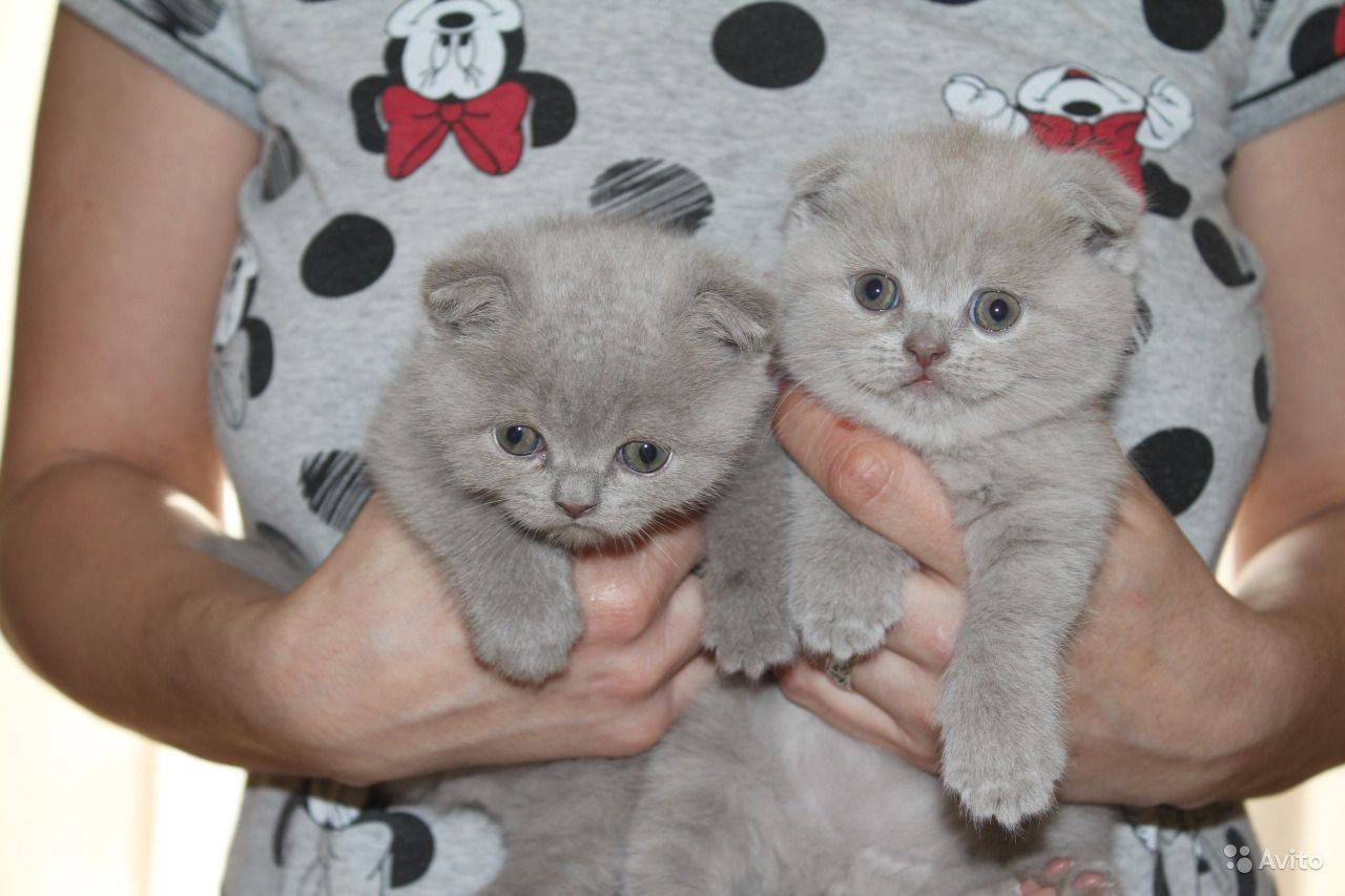Как назвать вислоухого кота или кошку? советы эксперта