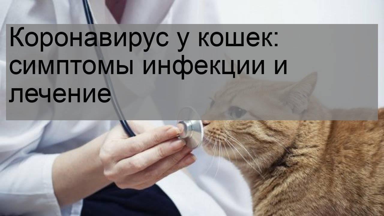 Коронавирус у кошек: симптомы инфекции и лечение
