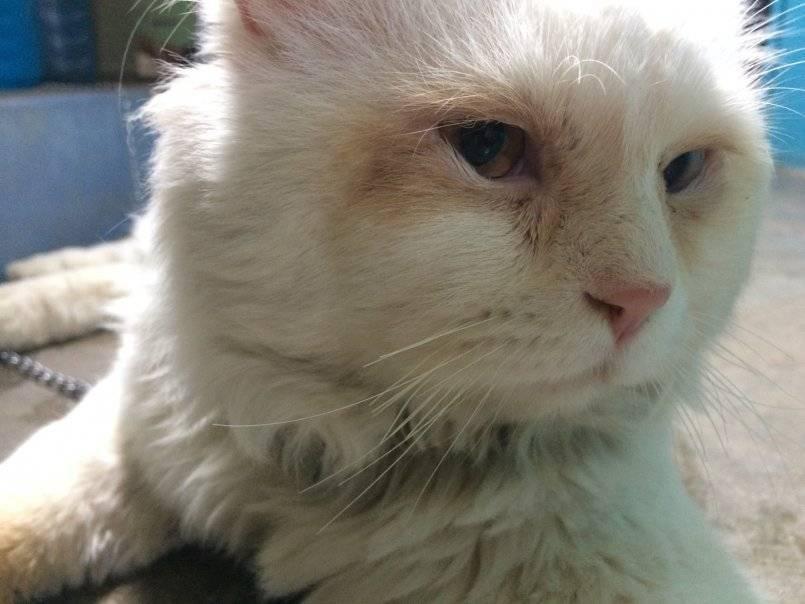 Что делать, если кошка чихает, и у нее слезятся глаза?