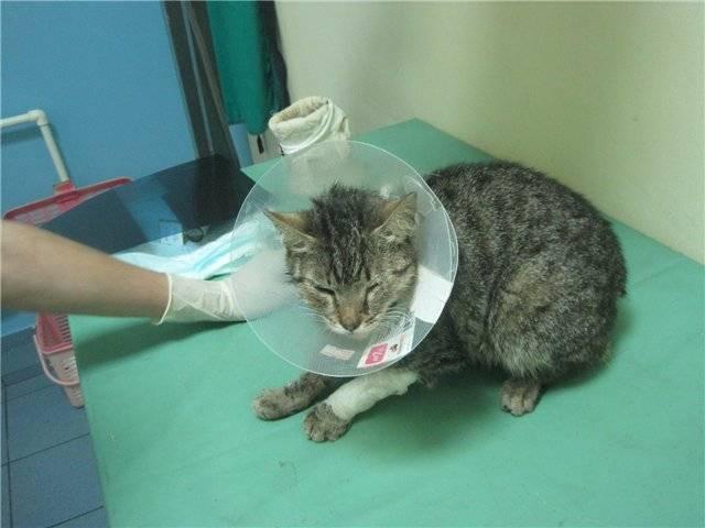 Что такое асцит у кошек и как его лечить