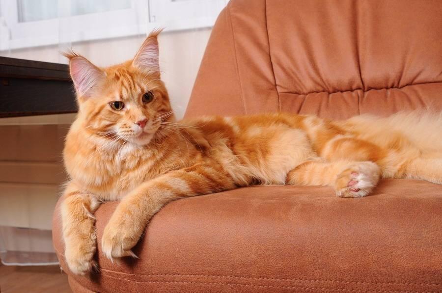 Сколько лет живет мейн-кун: средняя продолжительность жизни кошки и кастрата