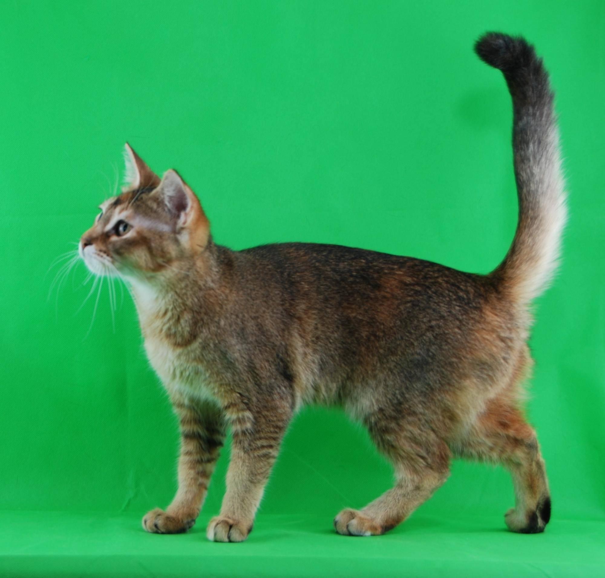 Кошки породы чаузи (60 фото): описание внешнего вида и характера. характеристика и отличия гибридов чаузи f1, f2, f3, f4 и f5. чем кормить? как правильно ухаживать?