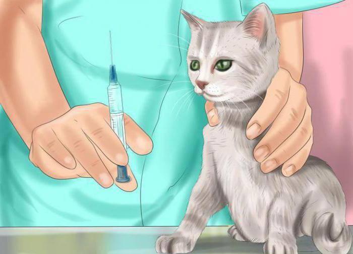 Лейкоз у кошек: симптомы, лечение и профилактика вирусной лейкемии