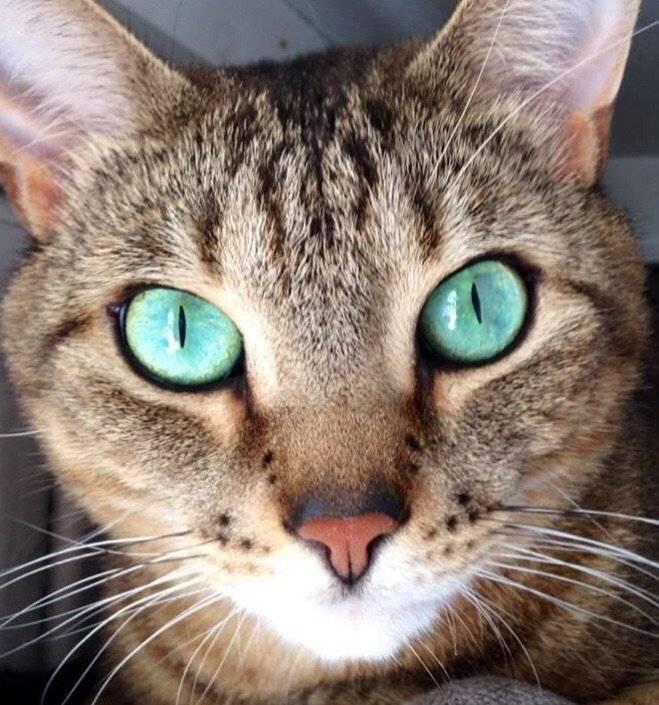Породы кошек с голубыми глазами (23 фото): самые красивые коты коричневого и палевого, бежевого и других окрасов. как выбрать котенка?