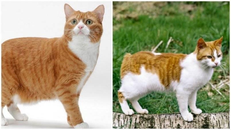 Мэнкс или мэнкская кошка (100 фото) - история и описание породы + цена и отзывы