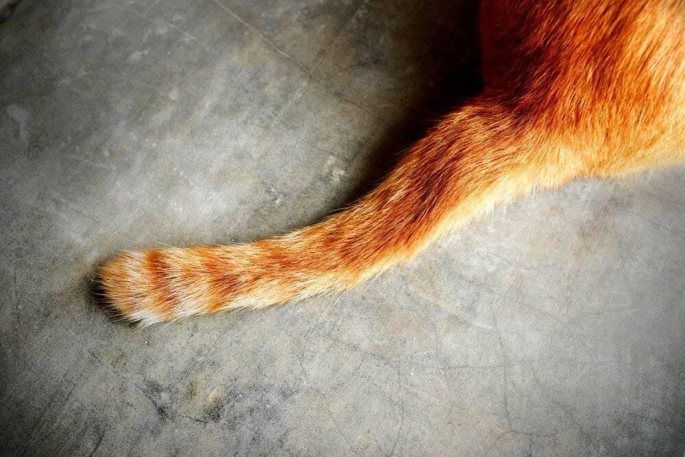 Что делать если у кошки висит хвост