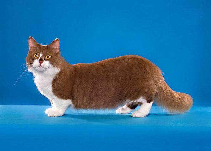 Как выглядят коты с короткими лапами, виды пород