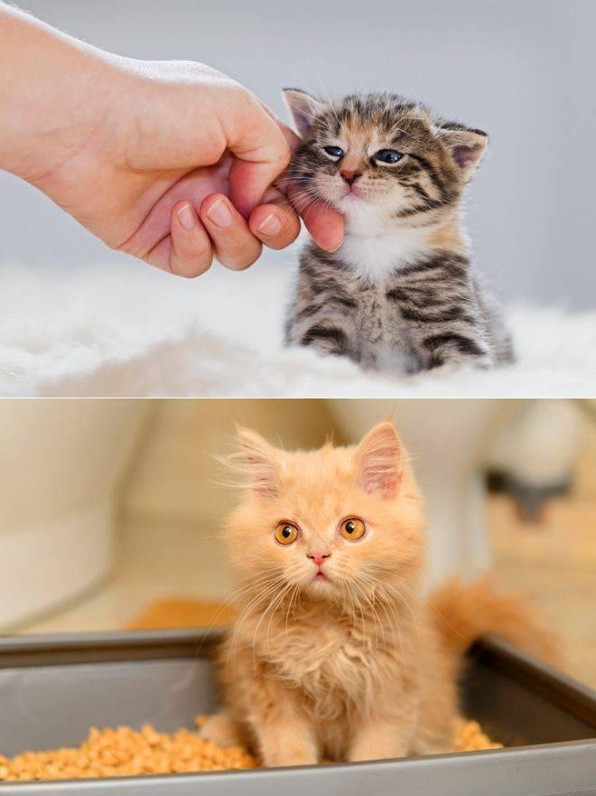 Когда котята самостоятельно начинают есть: как научить