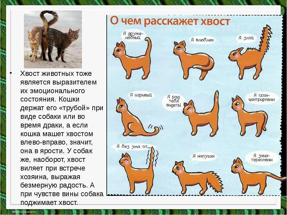 Интересные факты о хвосте кошки