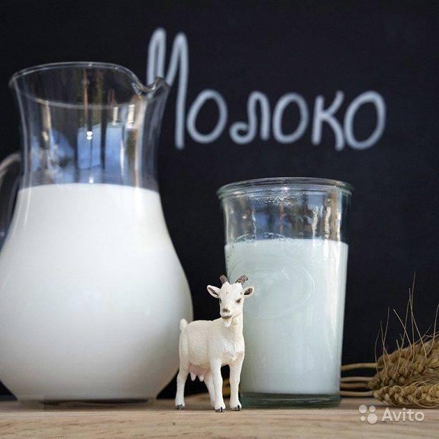 Правда о молоке в рационе вислоухих котят