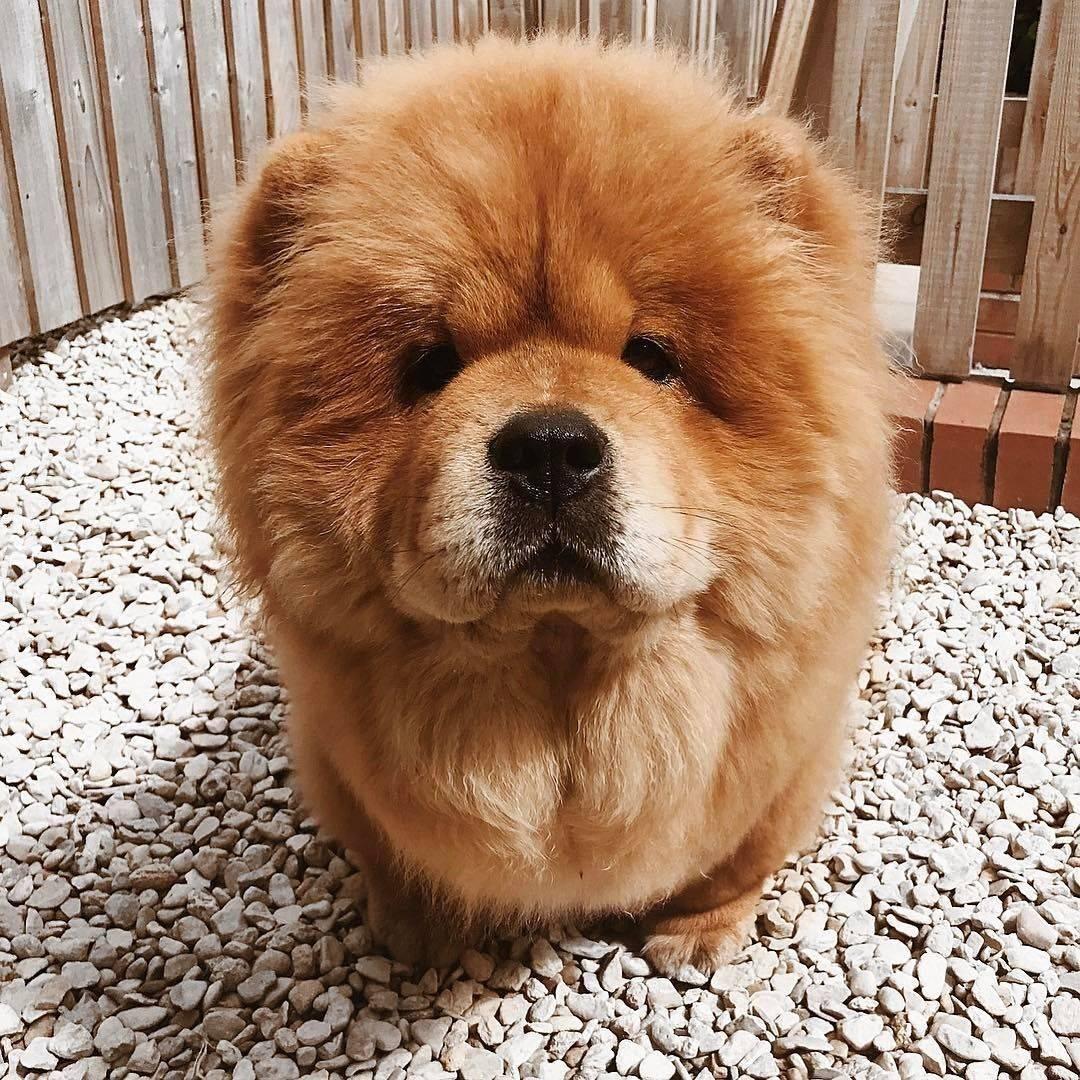 Маленькая собачка похожая на медвежонка. как называется порода собак, которые похожи на мишек? плюсы маленьких собачек - портал медика
