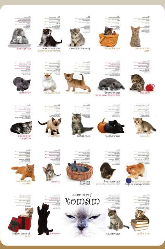 Эксклюзивные питомцы: редкие породы кошек с уникальнымичертами