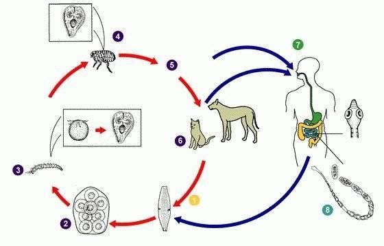Огуречный цепень (дипилидиоз) у кошек: лечение, симптомы, фото