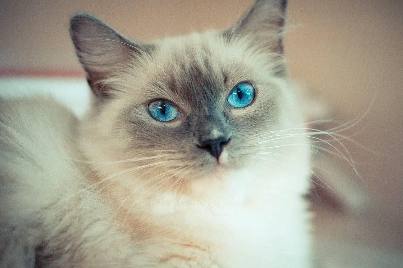 Чёрный окрас кошек: стандарты и особенности, породы с описанием, фото котят
