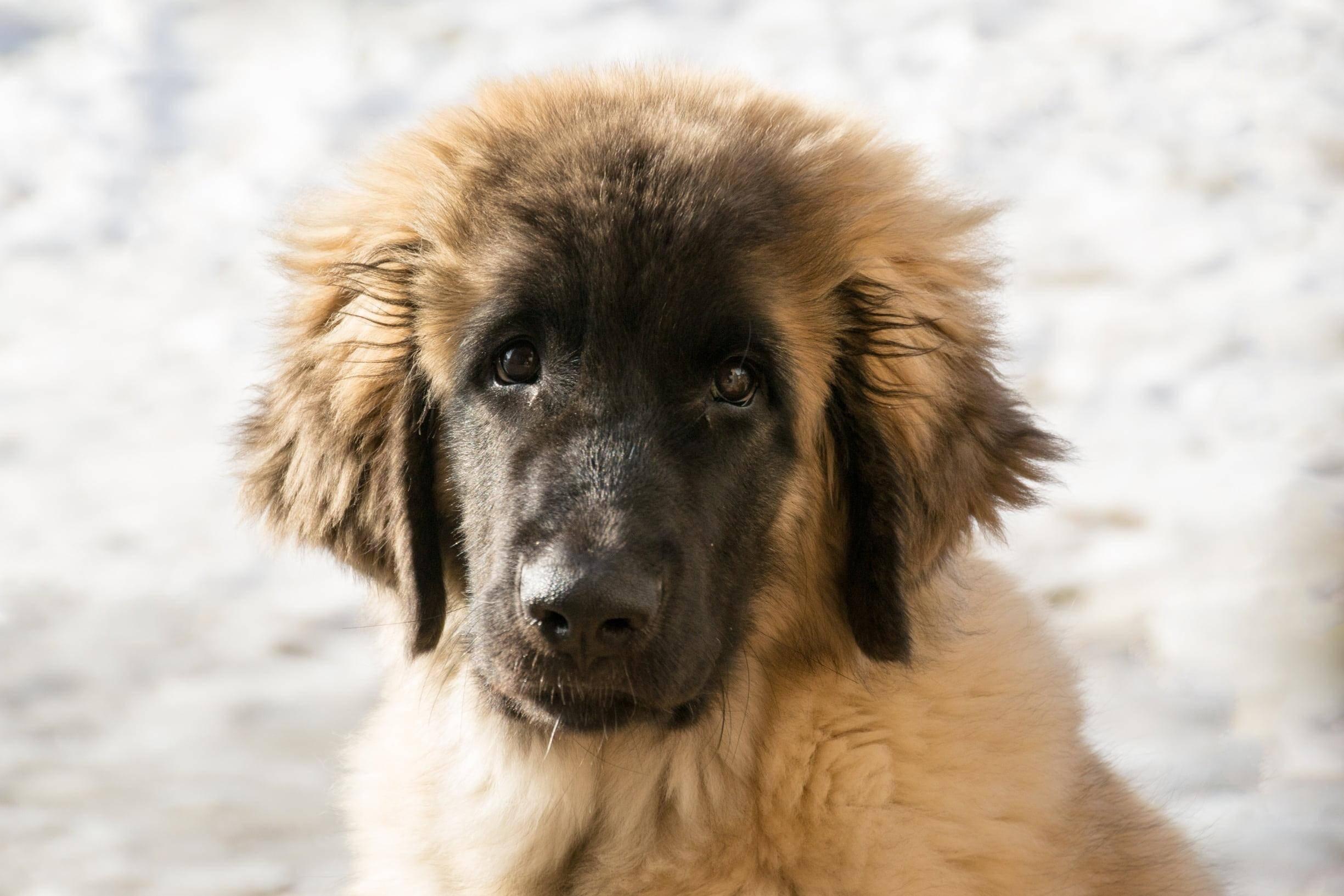 Порода собак леонбергер: описание и стандарт, характер, отзывы