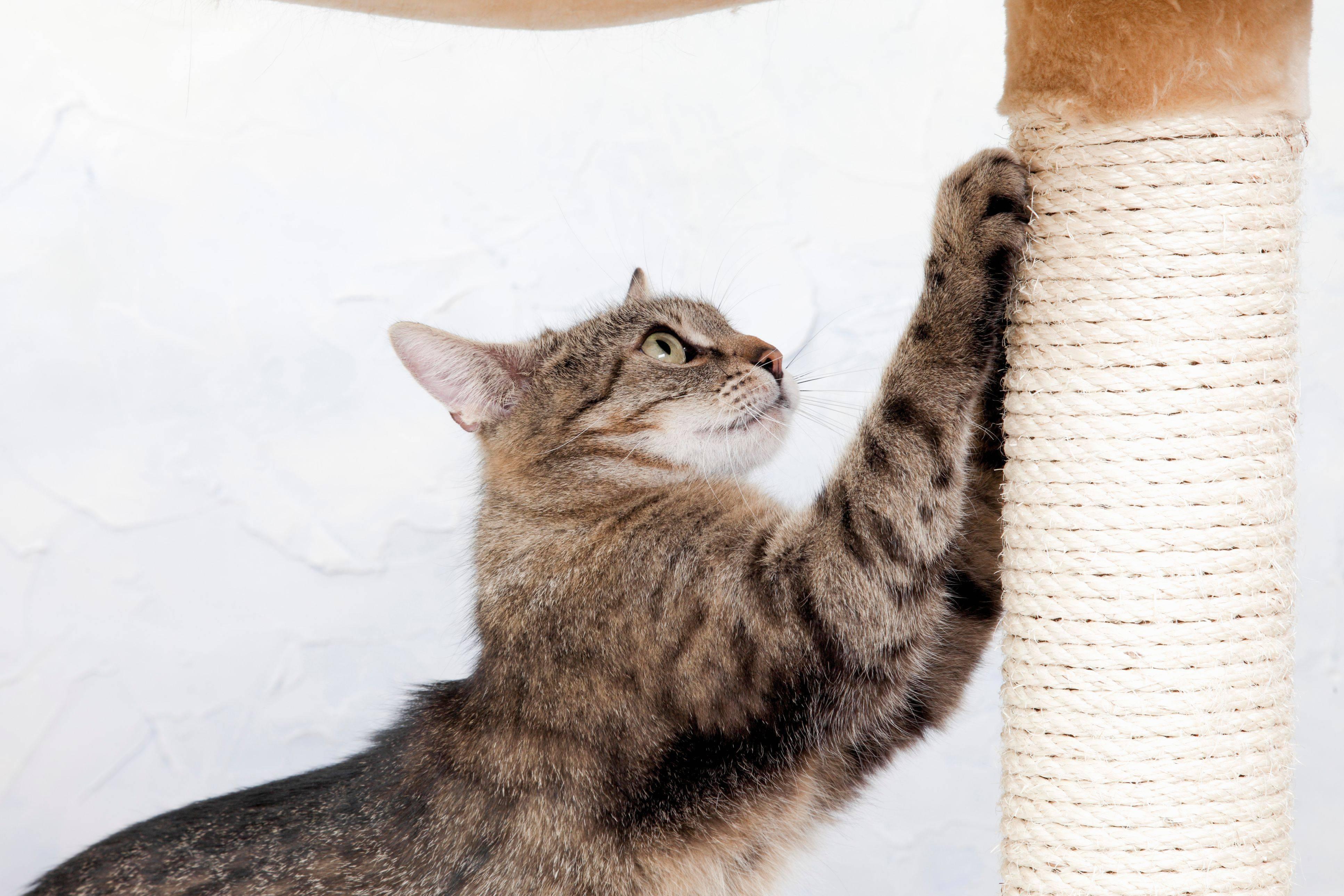 Как отучить кошку драть обои и мебель, что делать если кот их царапает как отучить кошку драть обои и мебель, что делать если кот их царапает