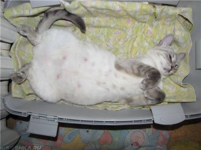Ложная беременность у кошек, причины симптомы и лечение