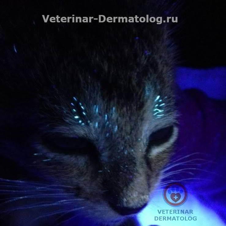 Лишай у кошек: как выглядит и чем его лечить – симптомы и признаки лишая