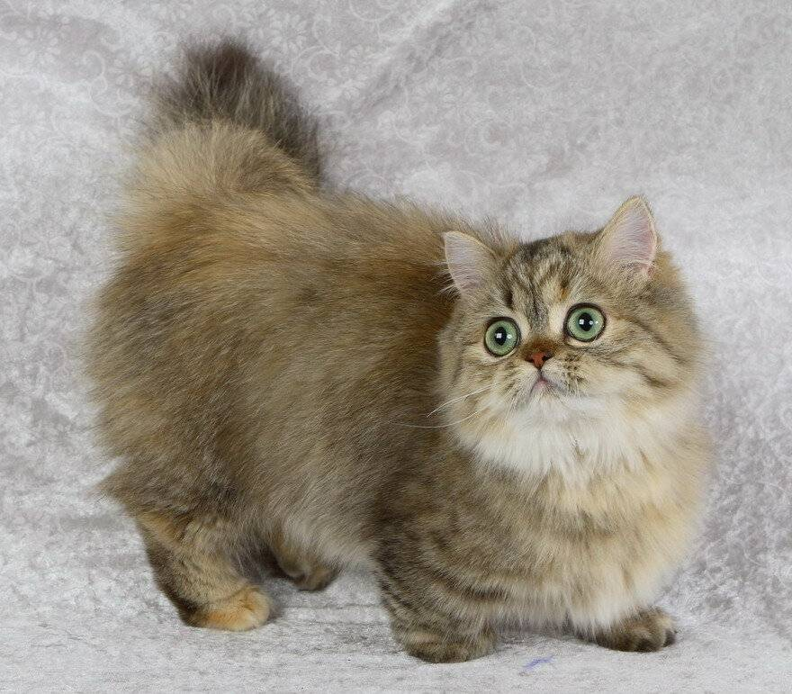 Карликовые породы кошек: рассмотрим по полочкам