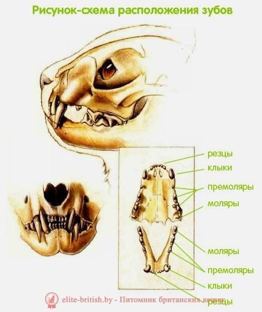 Строение зубов у кошек - oozoo.ru