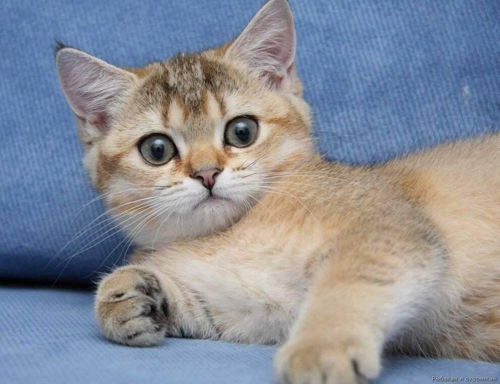 Самые добрые породы кошек и котов | топ-10 с фотографиями