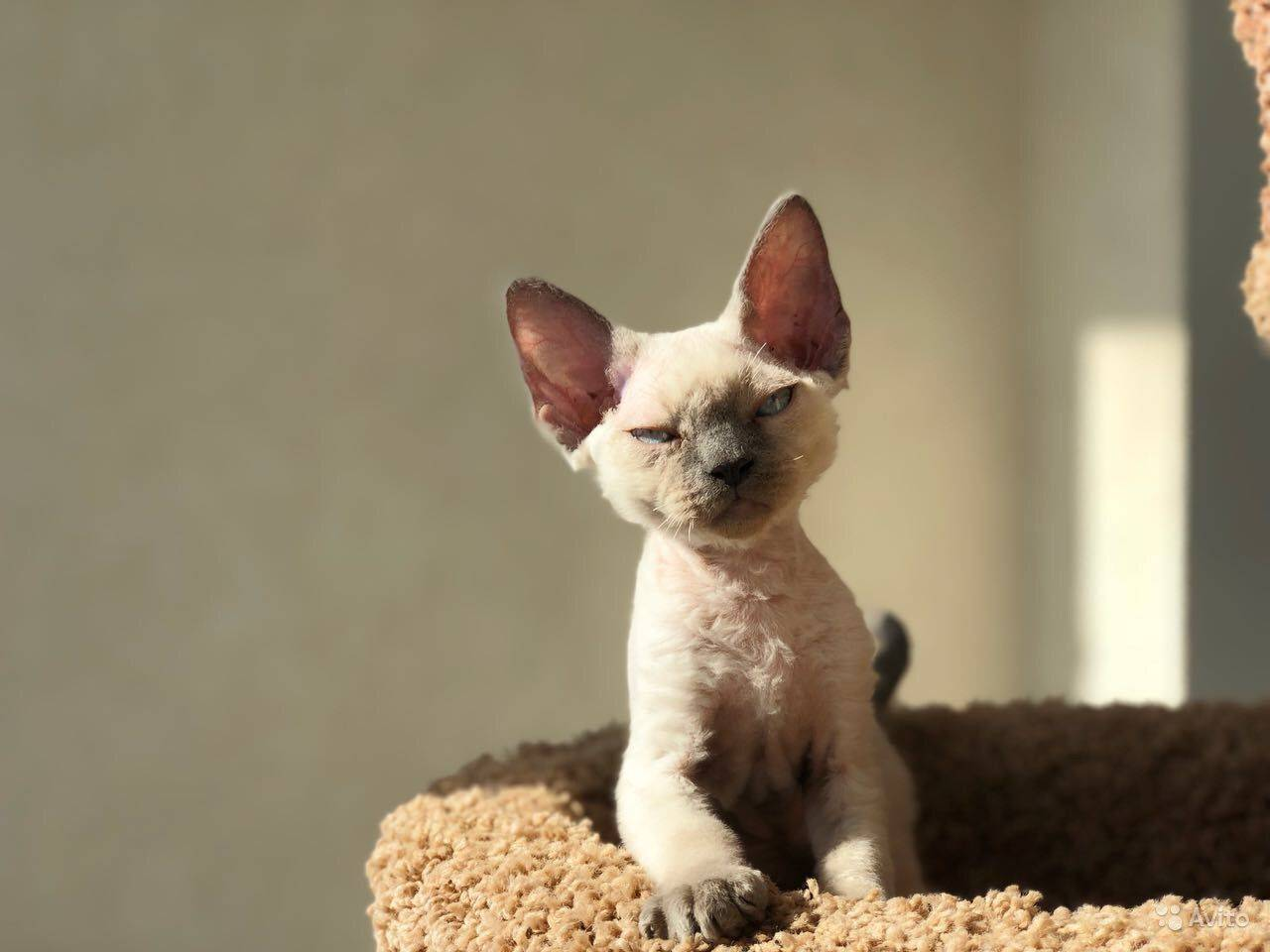 Девон-рекс: порода кошек, описание стандарта, особенности содержания, цена, фото + отзывы владельцев