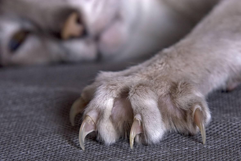 Какое количество пальцев считается нормой у кошек на передних и задних лапах