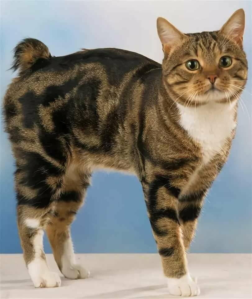 Как называются породы котов и кошек без хвоста