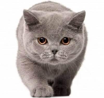 Срок беременности у британских кошек — распишем по порядку