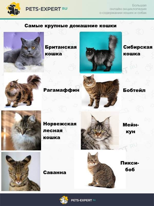 До какого возраста растут коты