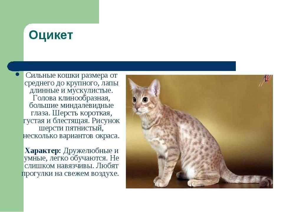 Чилийская кошка: маленький хищник из южной америки
