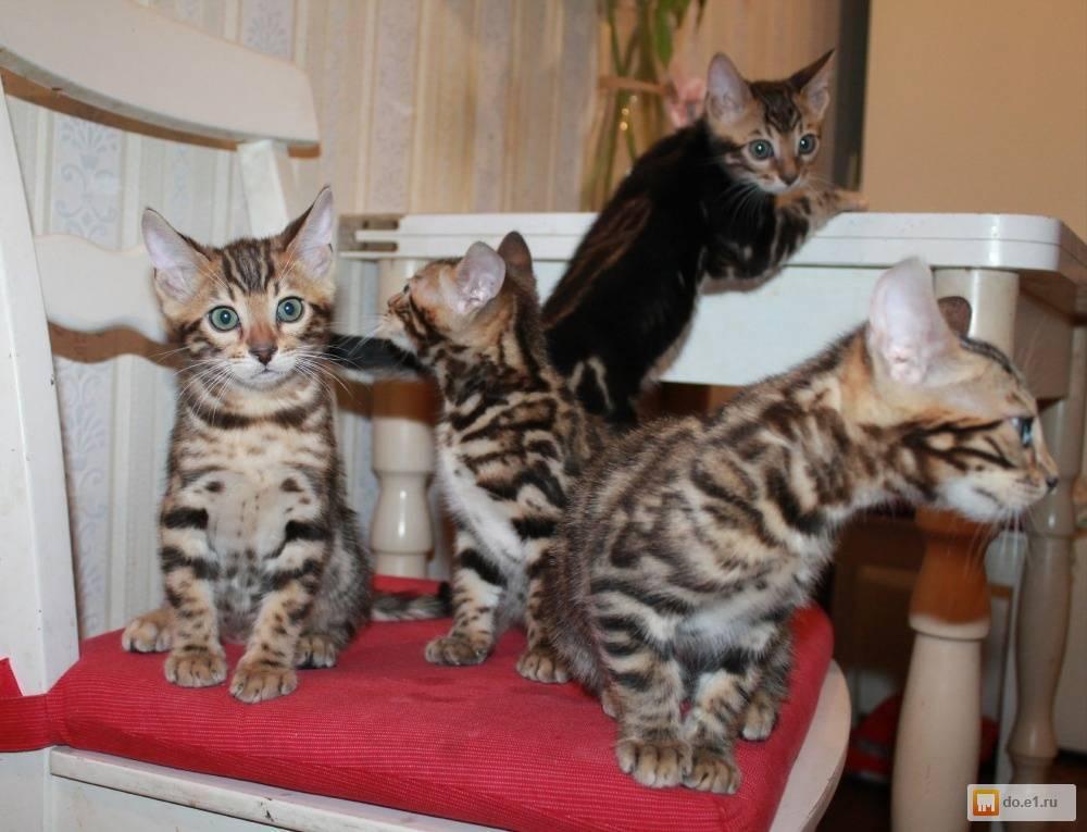 Разведение кошек как бизнес: с чего начать, выбор породы, расчеты затрат, рентабельность