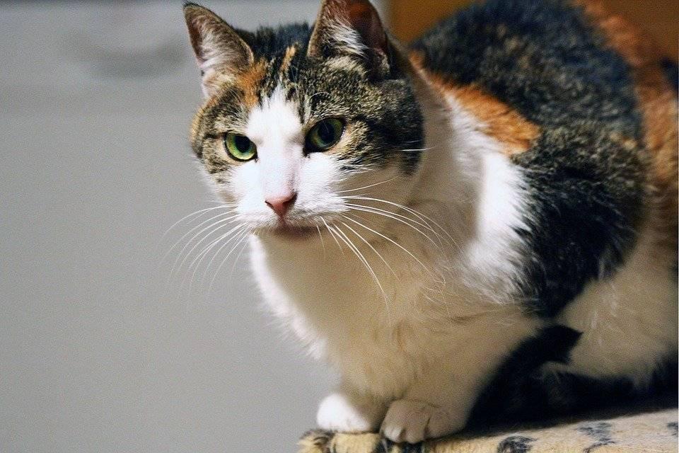 Трехцветная кошка в доме – почему приносит щастя