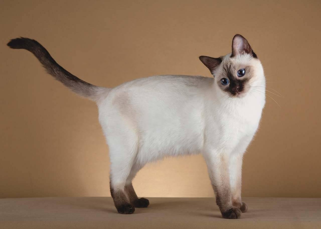 Тайская кошка: фото, описание породы, характер, здоровье, уход и содержание