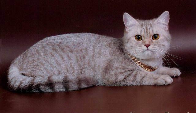 Правила вязки шотландских прямоухих кошек