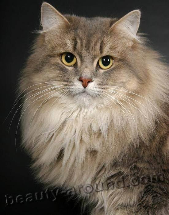 Кошки: самая красивая порода. кошки, которые считаются самыми красивыми: фото