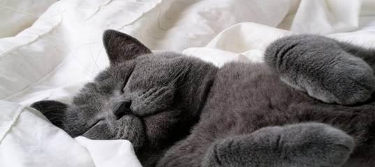 Британская кошка: питомец с характером