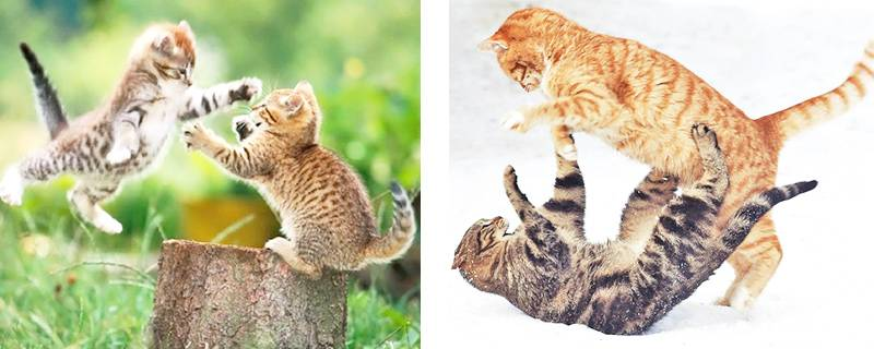 Как подружить двух кошек или котов