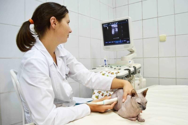 Поликистоз почек у кошек - симптомы и лечение заболевания