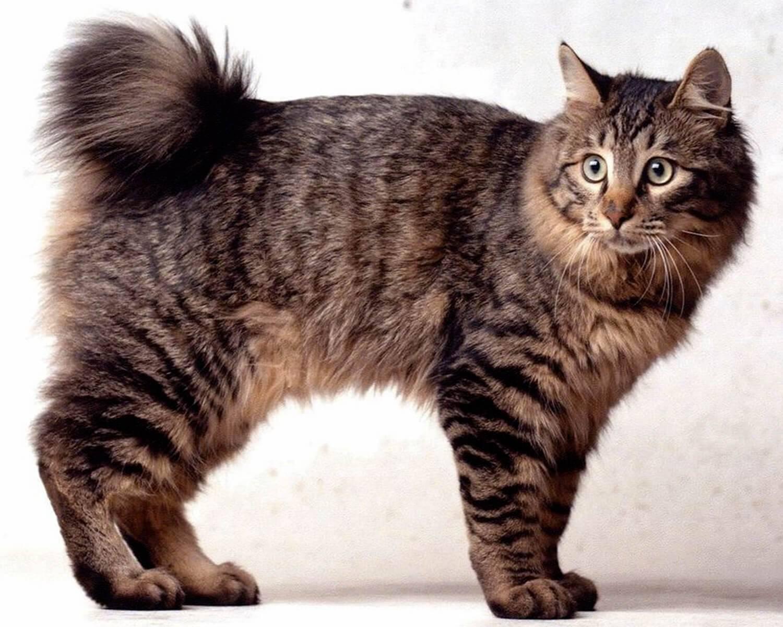 Порода кошек с загнутыми ушами вперед