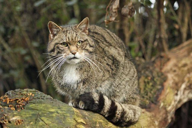 Среднеевропейский лесной кот
