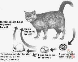 Как проверить кошку на токсоплазмоз?