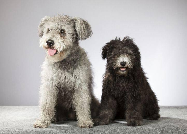 Порода собак пуми (31 фото): особенности венгерских овчарок, содержание активных и жизнерадостных щенков, дрессировка животных