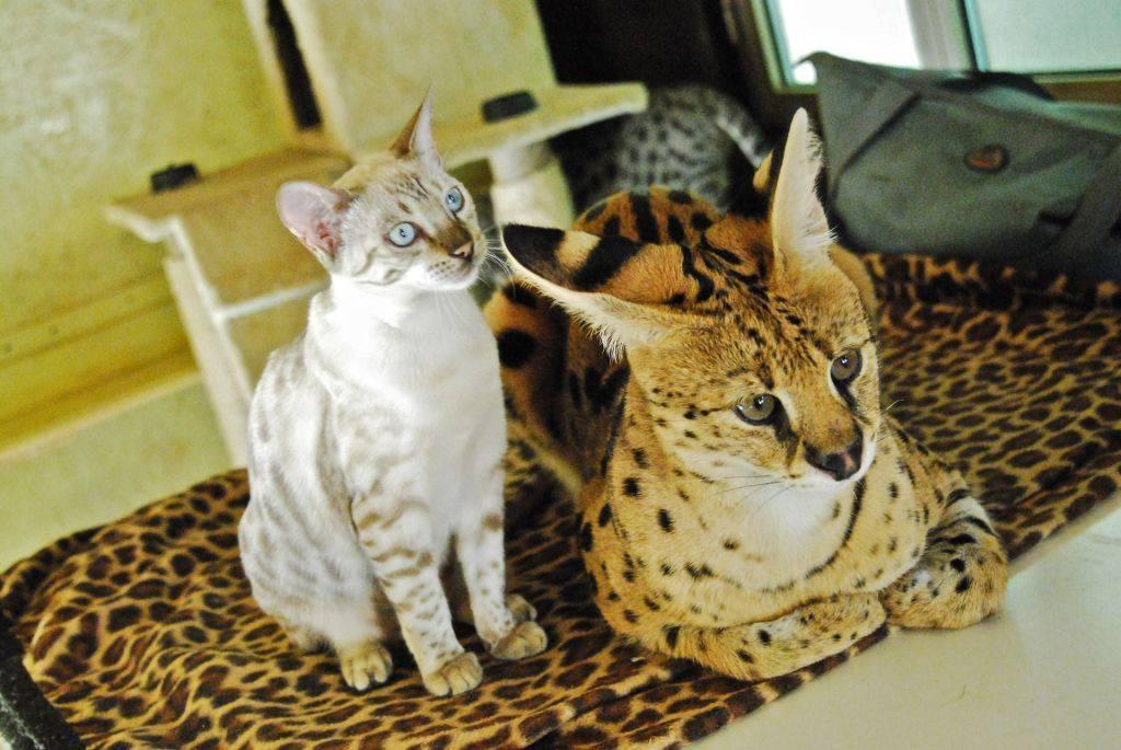 Каракал – дикое и чрезвычайно дорогое удовольствие в вашем доме
