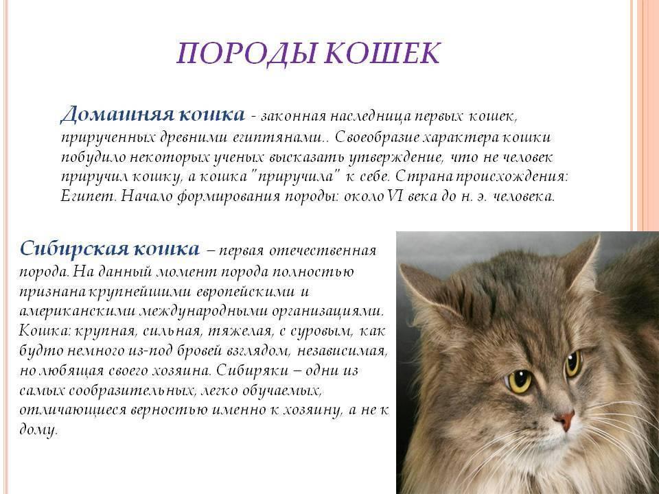 Характер бенгальской кошки (18 фото): описание породы и характера, поведение котят, достоинства и недостатки котов, отзывы владельцев