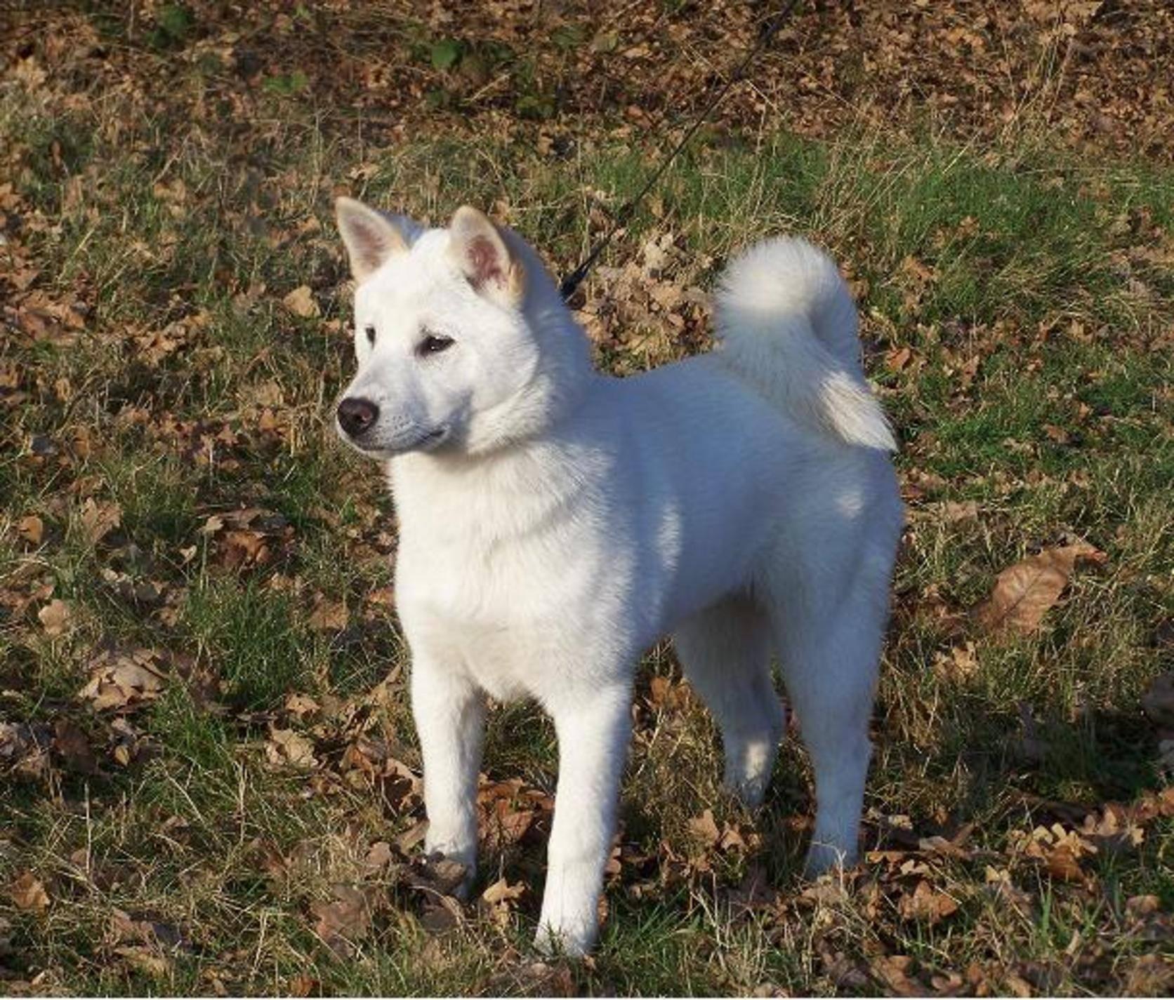 Всё о породе пхунсан - описание, характер собаки, характеристика, фото пхунсанов и видео