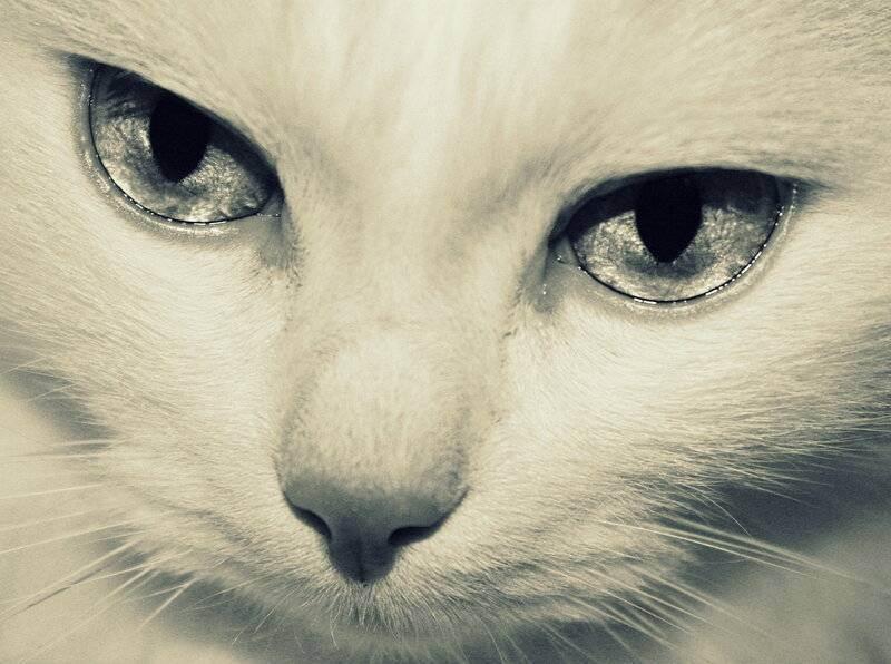 Фото и развитие шотландского котенка в 1-12 месяце